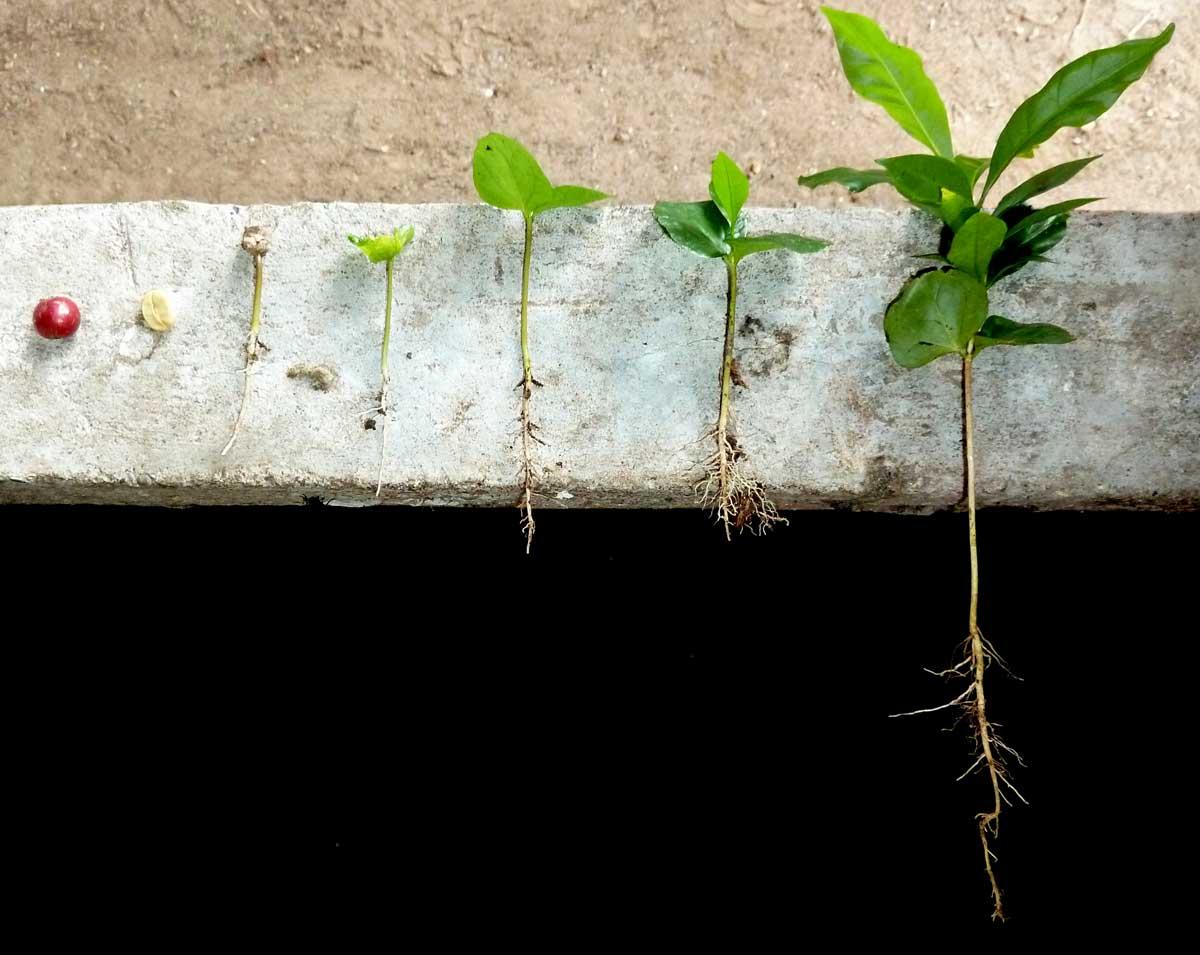 Kaffee selbst anpflanzen