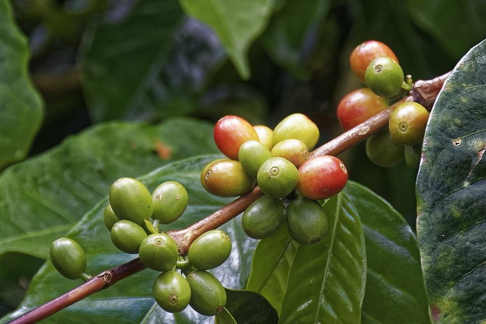 Kaffeeaufbereitung: die Kaffeekirsche